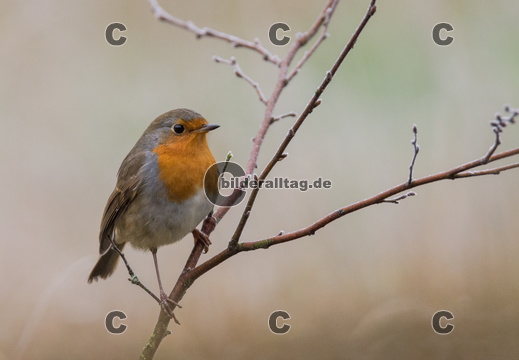 robin at frosty morning